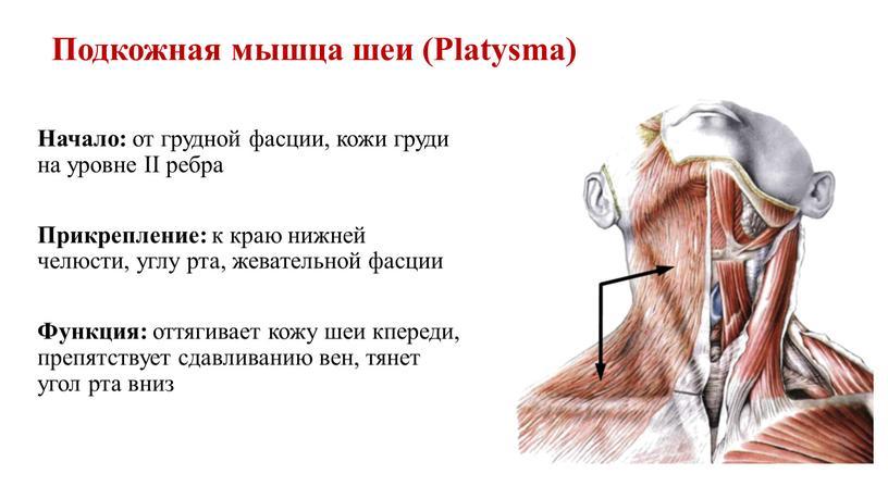 Подкожная мышца шеи (Platysma)
