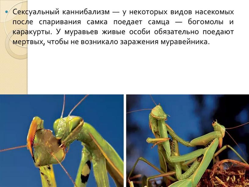 Сексуальный каннибализм — у некоторых видов насекомых после спаривания самка поедает самца — богомолы и каракурты