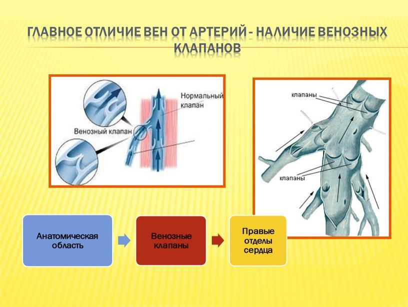 Главное отличие вен от артерий - наличие венозных клапанов
