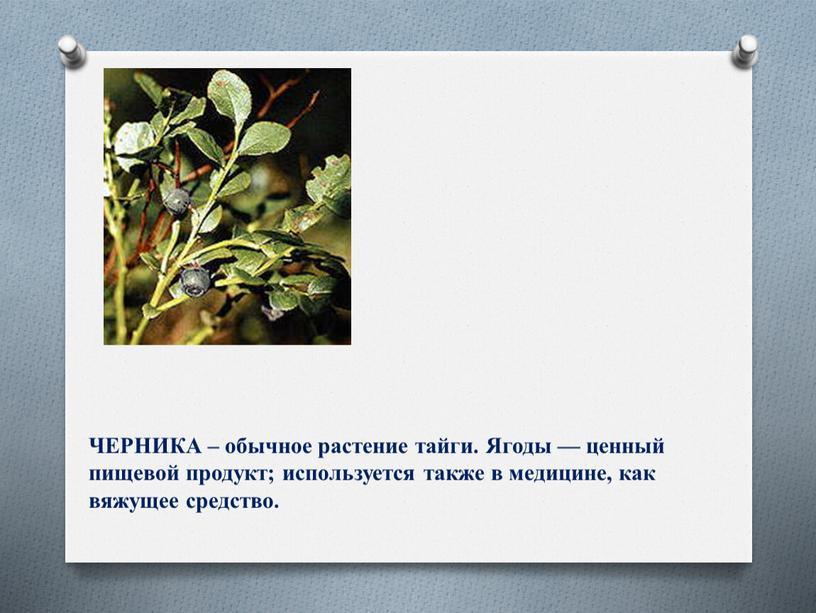 ЧЕРНИКА – обычное растение тайги