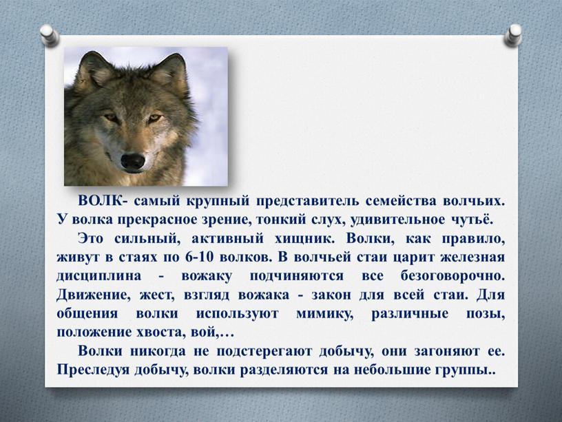 ВОЛК- самый крупный представитель семейства волчьих