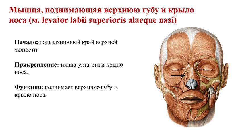 Мышца, поднимающая верхнюю губу и крыло носа (м
