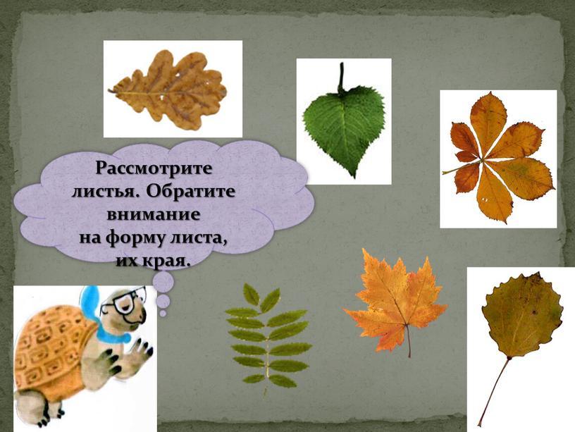 Рассмотрите листья. Обратите внимание на форму листа, их края