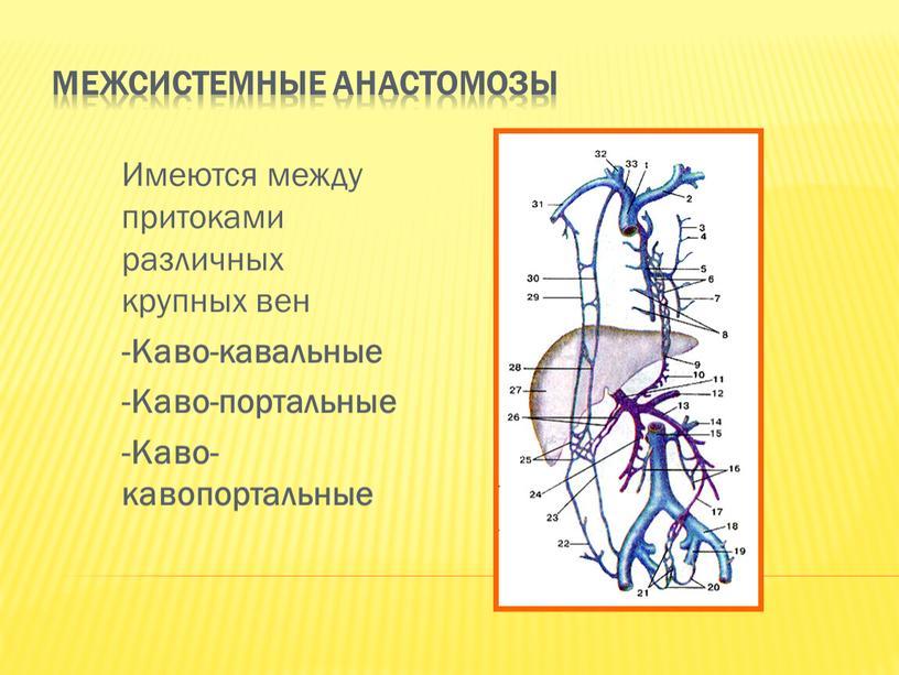 Межсистемные анастомозы Имеются между притоками различных крупных вен -Каво-кавальные -Каво-портальные -Каво-кавопортальные