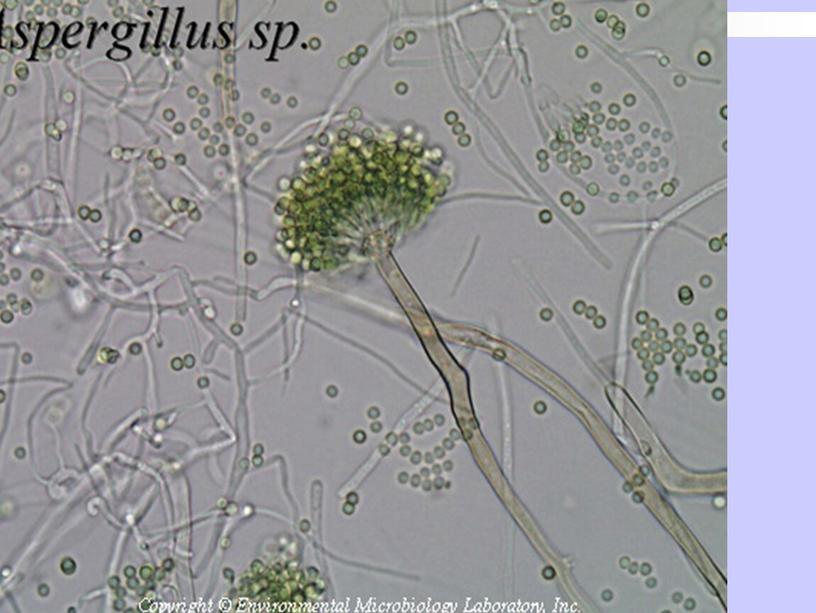 Патогенные грибы