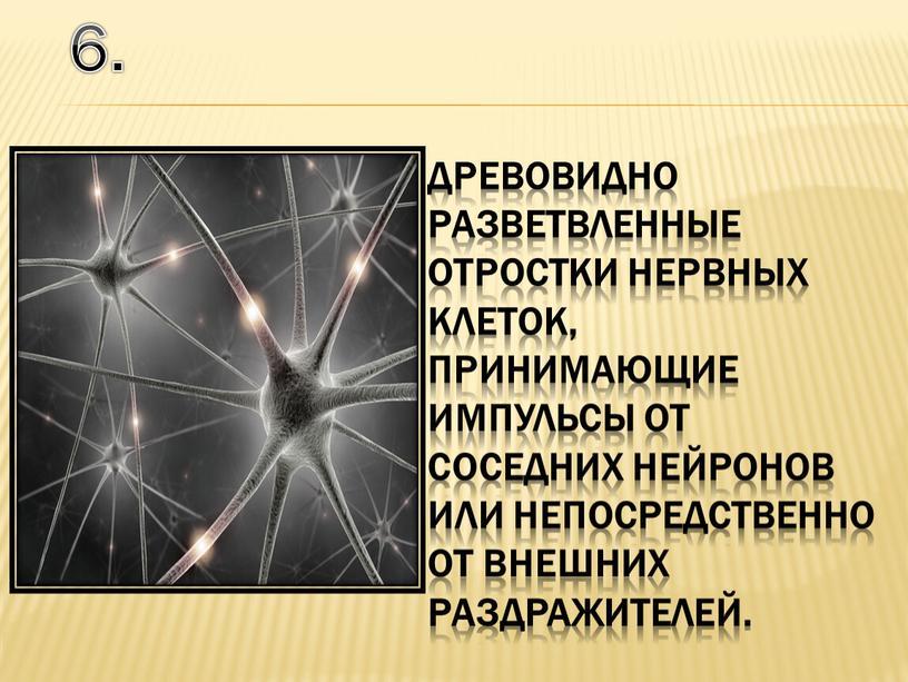Древовидно разветвленные отростки нервных клеток, принимающие импульсы от соседних нейронов или непосредственно от внешних раздражителей
