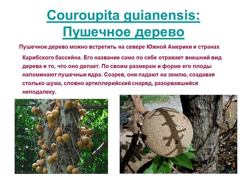 Couroupita guianensis: Пушечное дерево
