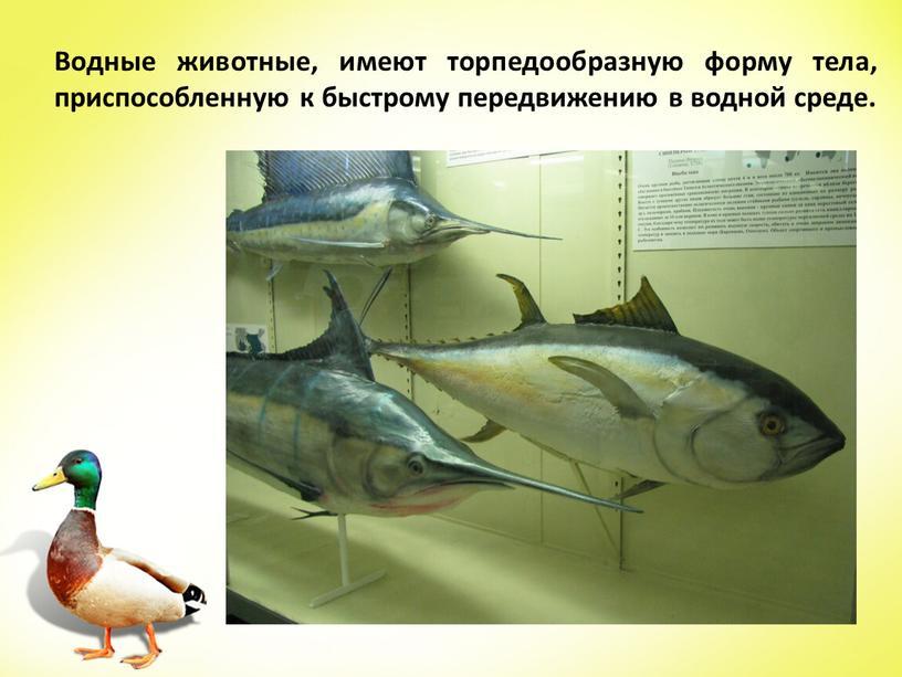 Водные животные, имеют торпедообразную форму тела, приспособленную к быстрому передвижению в водной среде