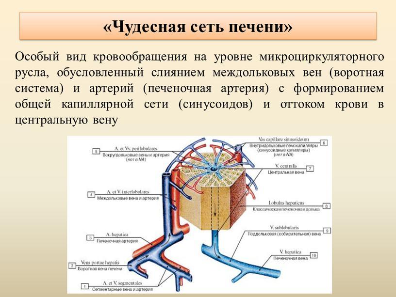 Чудесная сеть печени» Особый вид кровообращения на уровне микроциркуляторного русла, обусловленный слиянием междольковых вен (воротная система) и артерий (печеночная артерия) с формированием общей капиллярной сети…