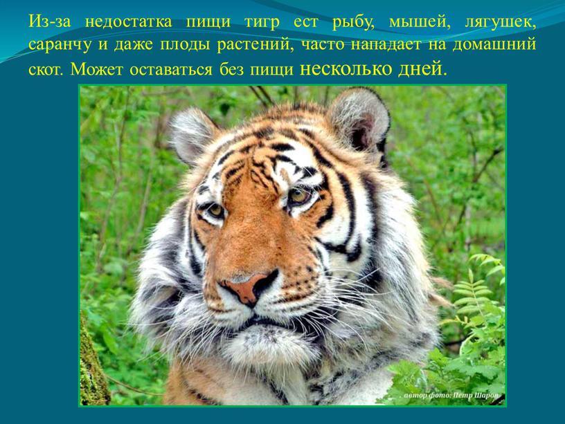 Из-за недостатка пищи тигр ест рыбу, мышей, лягушек, саранчу и даже плоды растений, часто нападает на домашний скот