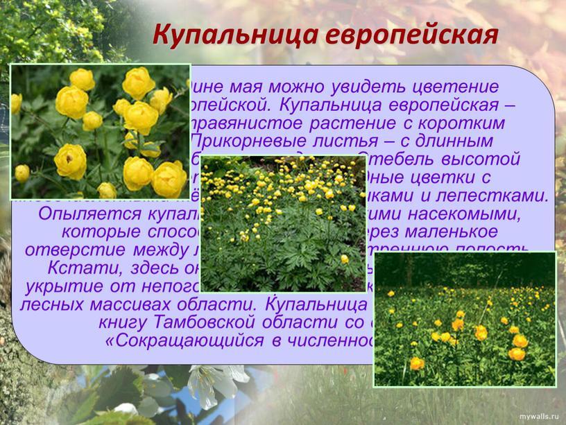 Купальница европейская Только в середине мая можно увидеть цветение купальницы европейской