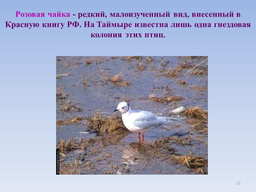 Розовая чайка - редкий, малоизученный вид, внесенный в