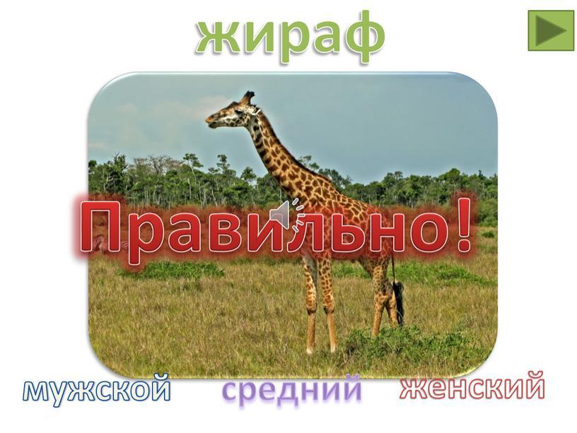 Правильно! жираф мужской средний женский
