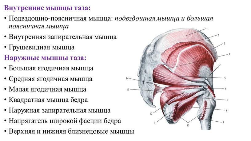 Внутренние мышцы таза: Подвздошно-поясничная мышца: подвздошная мышца и большая поясничная мышца