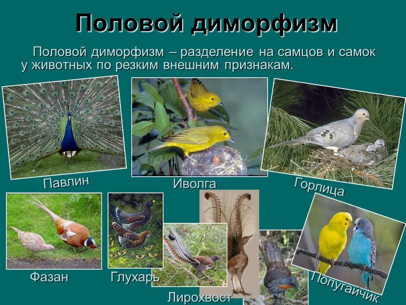 Половой диморфизм Половой диморфизм – разделение на самцов и самок у животных по резким внешним признакам