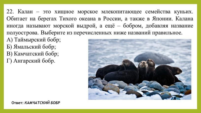 Калан – это хищное морское млекопитающее семейства куньих
