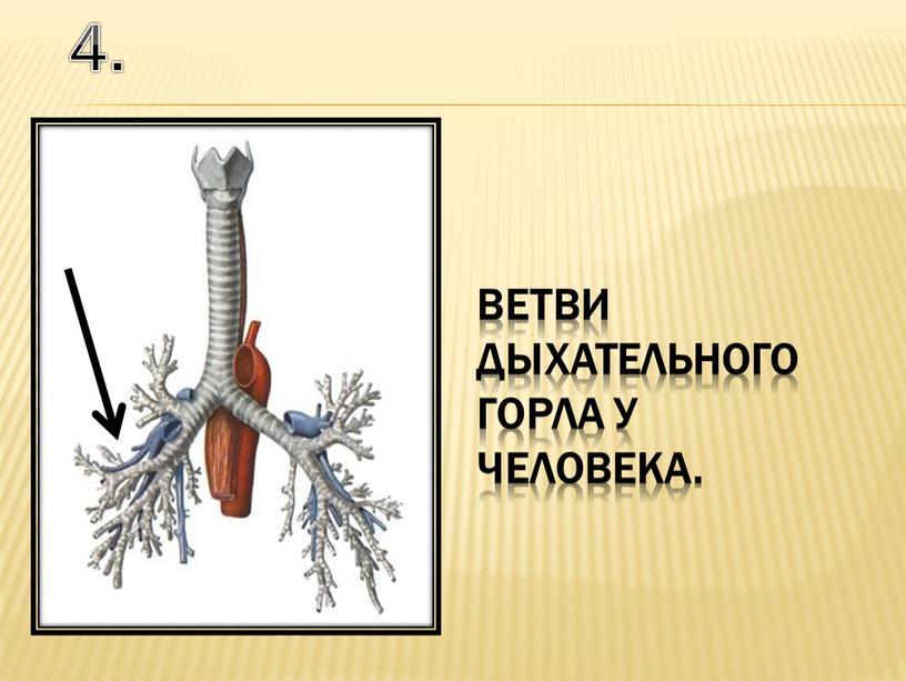 4. ветви дыхательного горла у человека.
