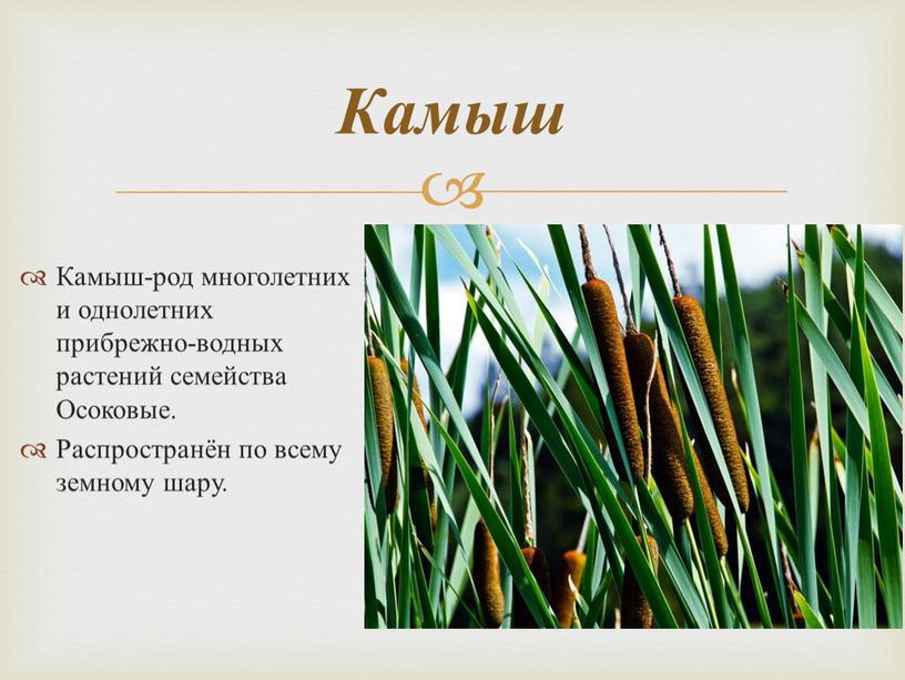 Камыш-род многолетних и однолетних прибрежно-водных растений семейства