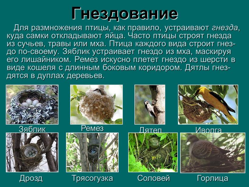 Гнездование Для размножения птицы, как правило, устраивают гнезда , куда самки откладывают яйца