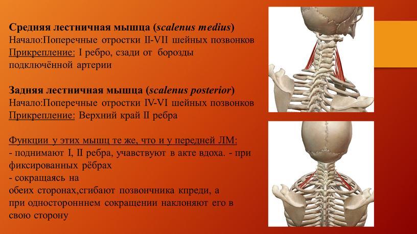 Средняя лестничная мышца ( scalenus medius )
