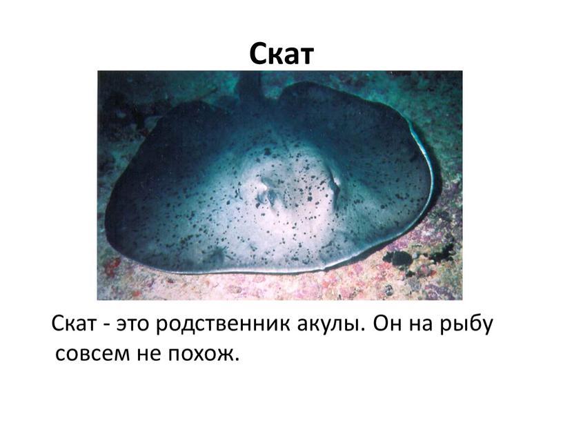 Скат Скат - это родственник акулы