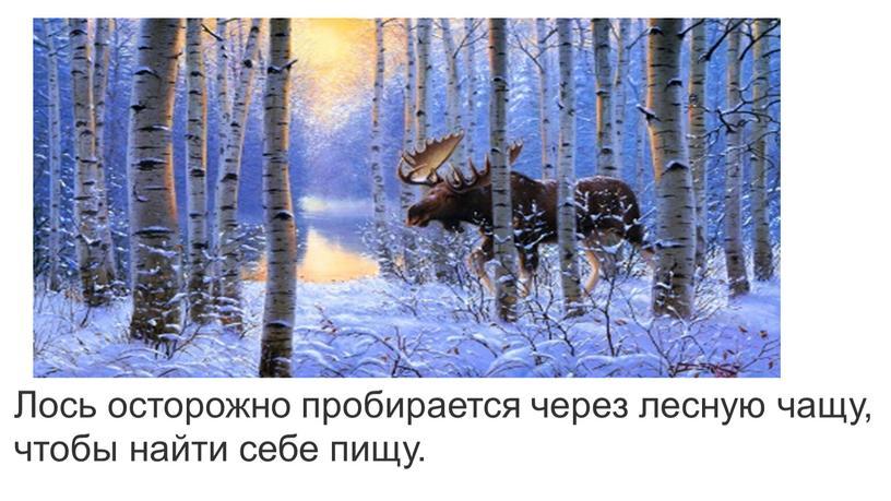 Лось осторожно пробирается через лесную чащу, чтобы найти себе пищу