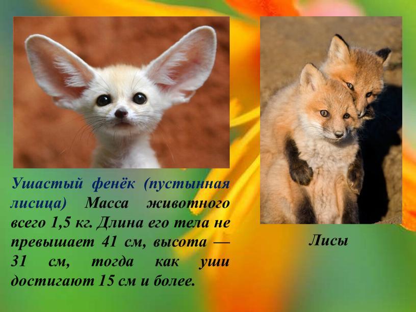 Ушастый фенёк (пустынная лисица)