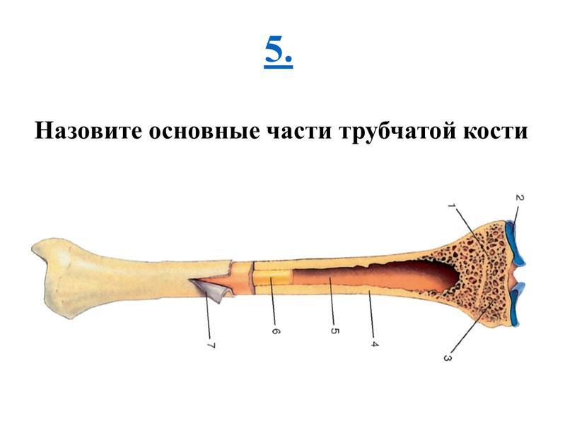 Назовите основные части трубчатой кости