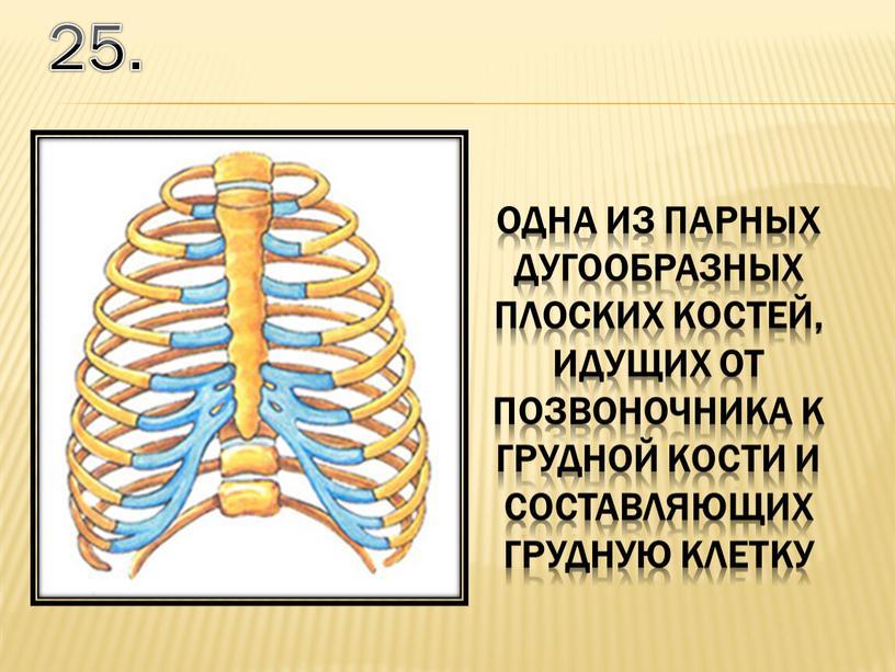 25. одна из парных дугообразных плоских костей, идущих от позвоночника к грудной кости и составляющих грудную клетку