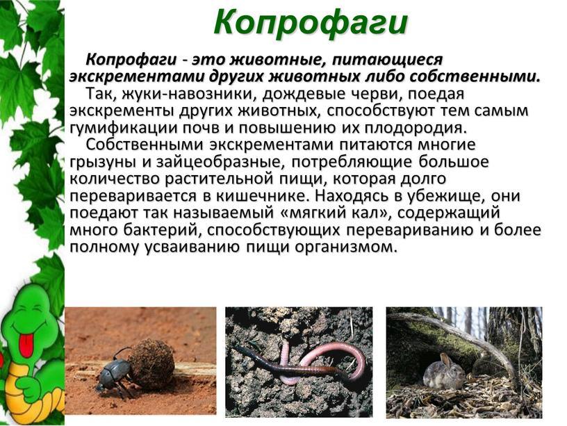 Копрофаги Копрофаги - это животные, питающиеся экскрементами других животных либо собственными