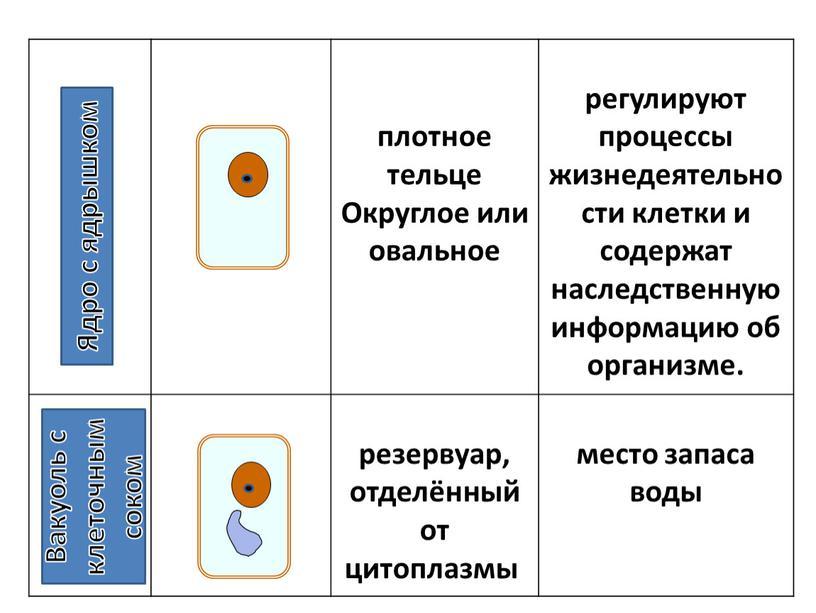 Округлое или овальное регулируют процессы жизнедеятельности клетки и содержат наследственную информацию об организме