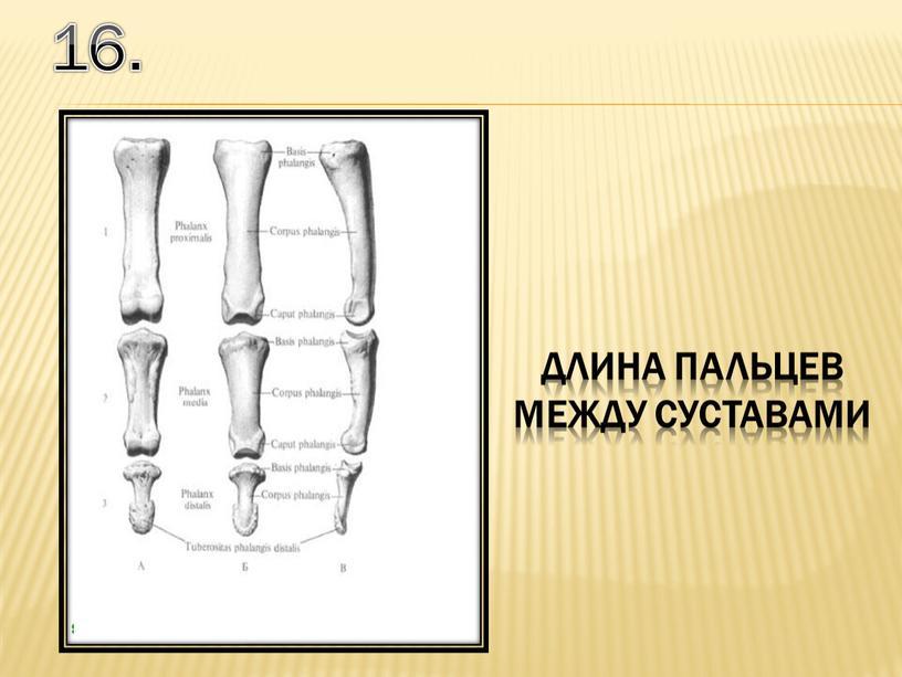 16. длина пальцев между суставами