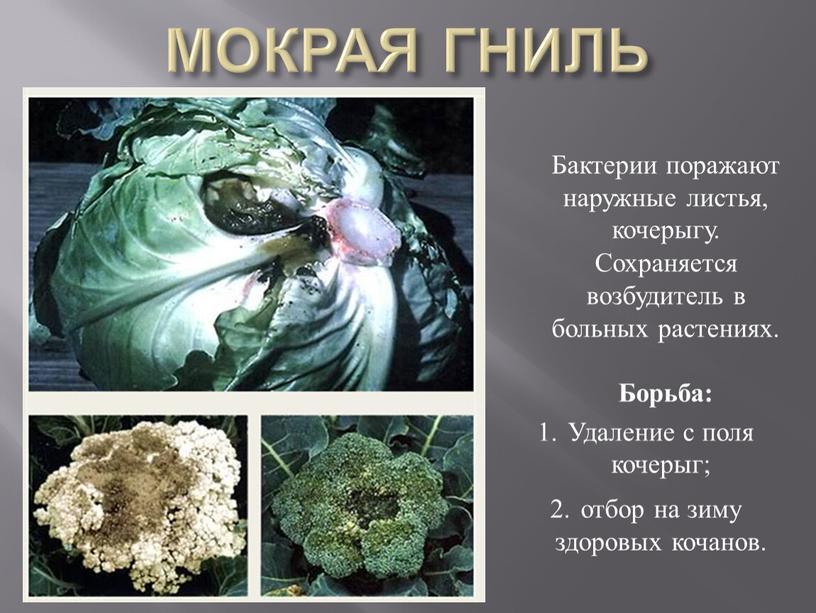 МОКРАЯ ГНИЛЬ Бактерии поражают наружные листья, кочерыгу