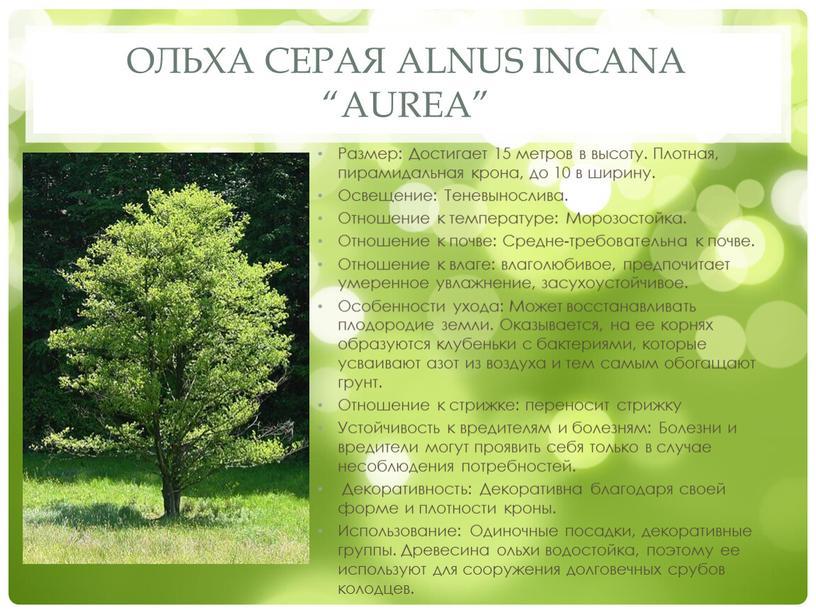 """Ольха серая Alnus incana """"Aurea"""""""
