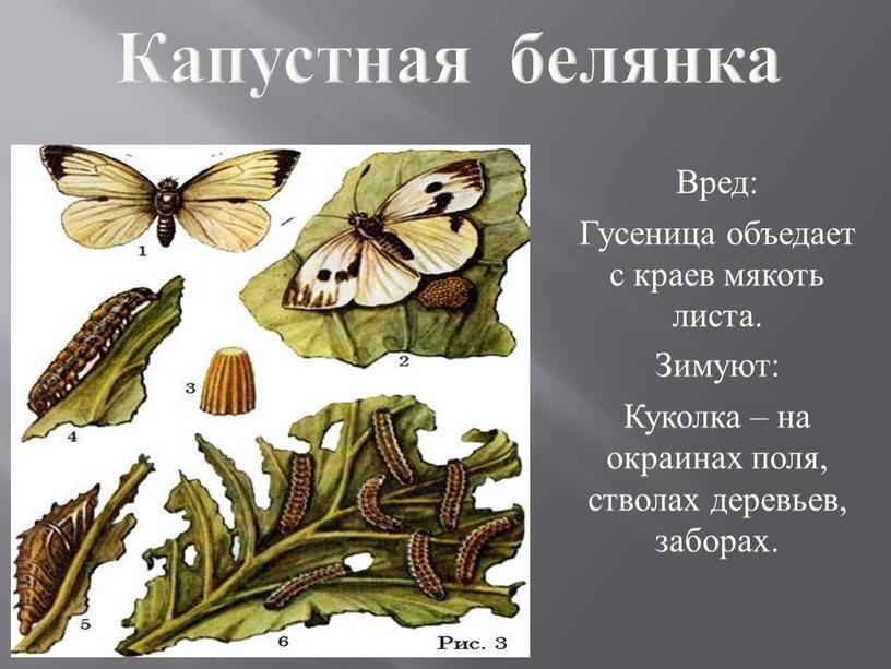 Капустная белянка Вред: Гусеница объедает с краев мякоть листа
