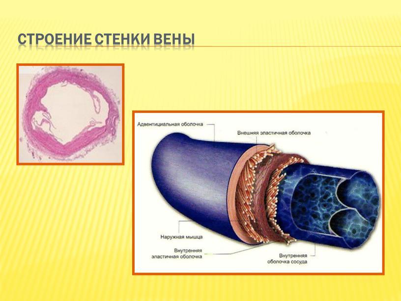 Строение стенки вены