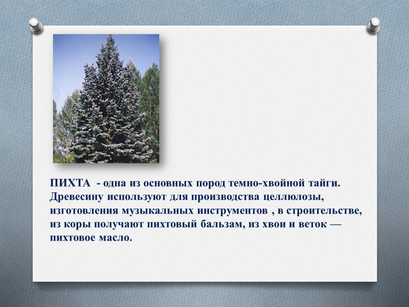 ПИХТА - одна из основных пород темно-хвойной тайги