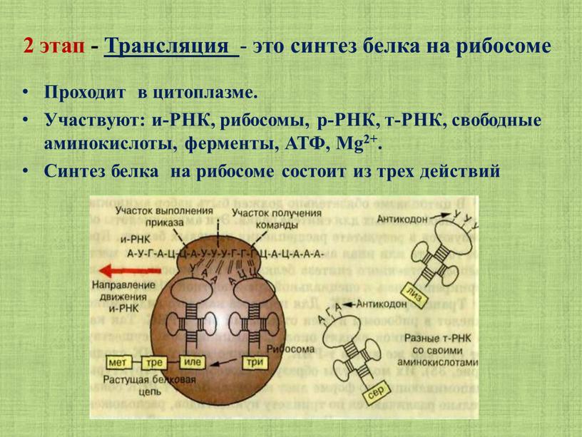 Трансляция - это синтез белка на рибосоме
