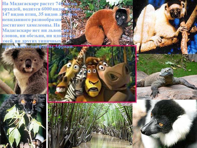 На Мадагаскаре растет 740 видов орхидей, водится 6000 видов жуков, 147 видов птиц, 35 видов лемуров невиданного разнообразия достигают хамелеоны