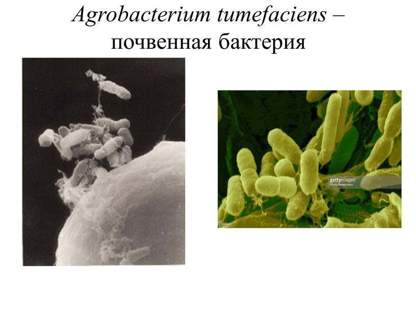Agrobacterium tumefaciens – почвенная бактерия