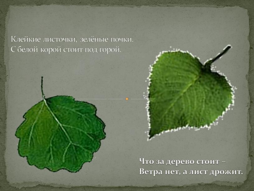 Клейкие листочки, зелёные почки