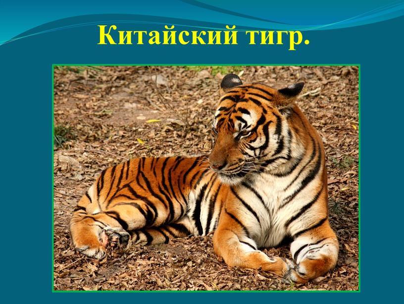 Китайский тигр.