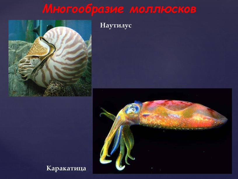 Многообразие моллюсков Каракатица
