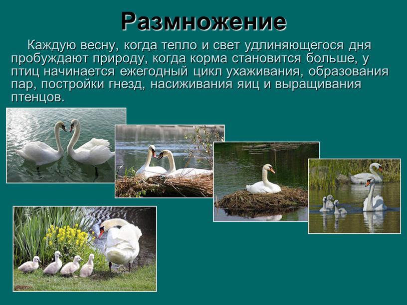 Размножение Каждую весну, когда тепло и свет удлиняющегося дня пробуждают природу, когда корма становится больше, у птиц начинается ежегодный цикл ухаживания, образования пар, постройки гнезд,…