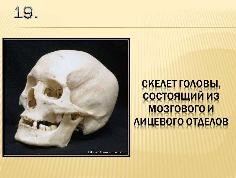 19. скелет головы, состоящий из мозгового и лицевого отделов
