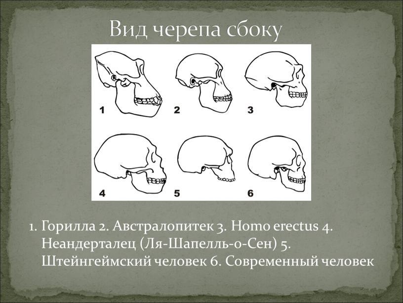 Вид черепа сбоку 1. Горилла 2.