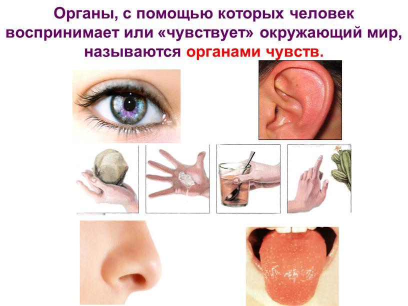 Органы, с помощью которых человек воспринимает или «чувствует» окружающий мир, называются органами чувств