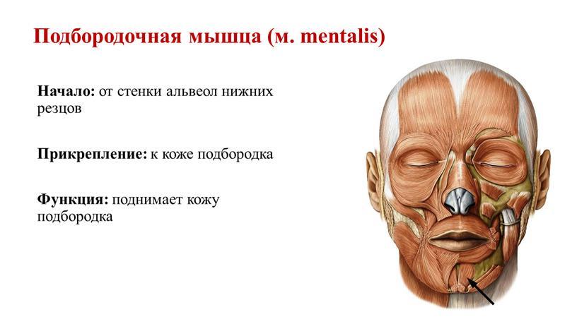 Подбородочная мышца (м. mentalis)