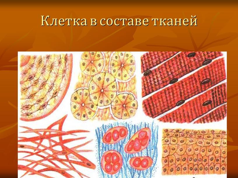 Клетка в составе тканей