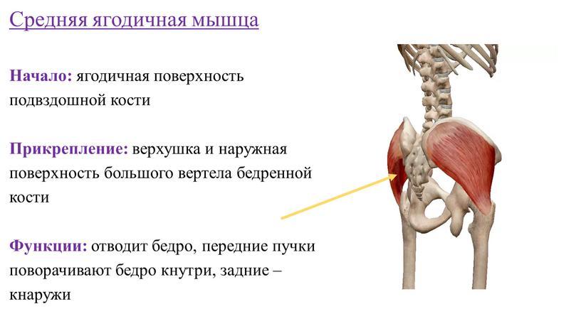 Средняя ягодичная мышца Начало: ягодичная поверхность подвздошной кости